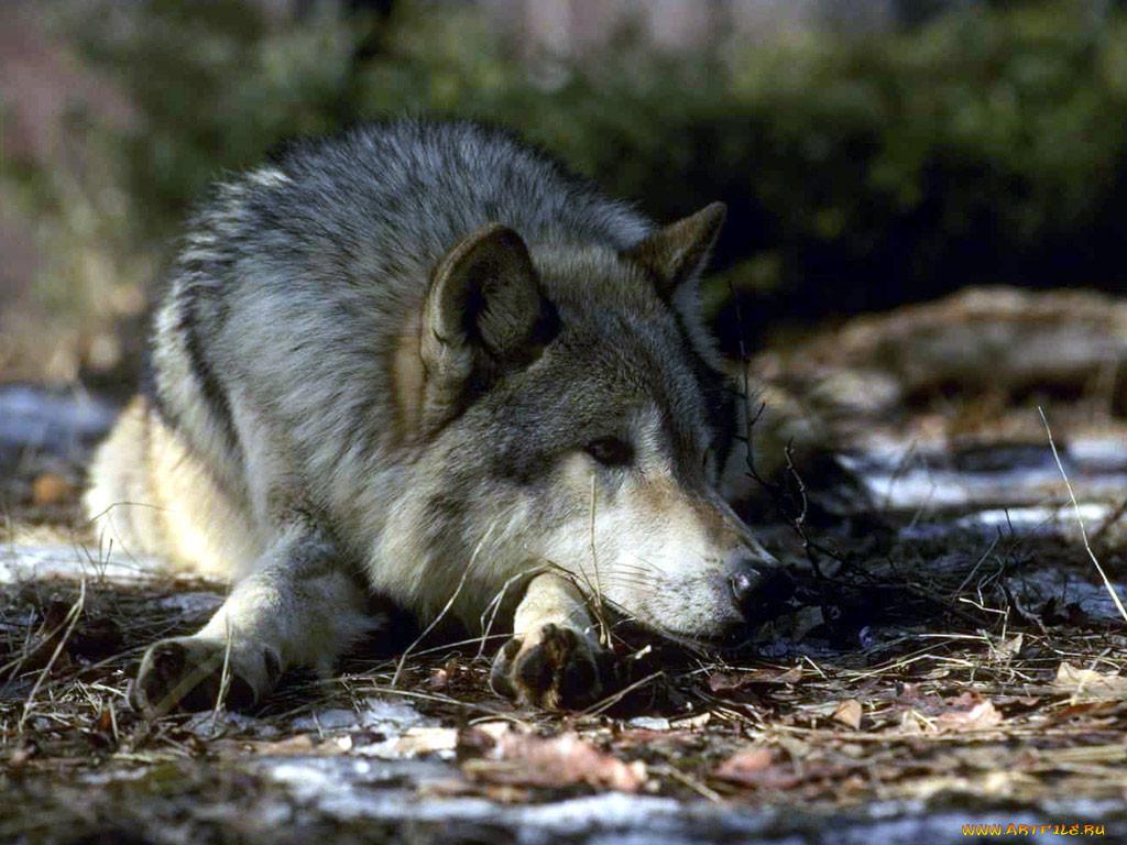 картинки страдающего волка особенности